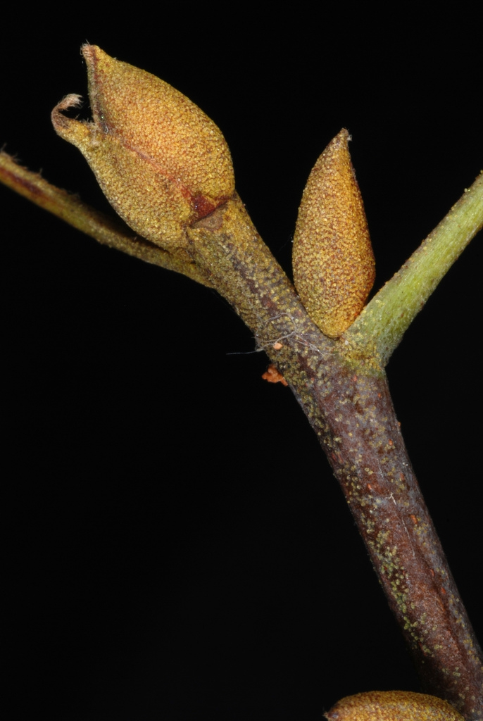End and stem buds (Seven Lakes, NC)-Early Fall
