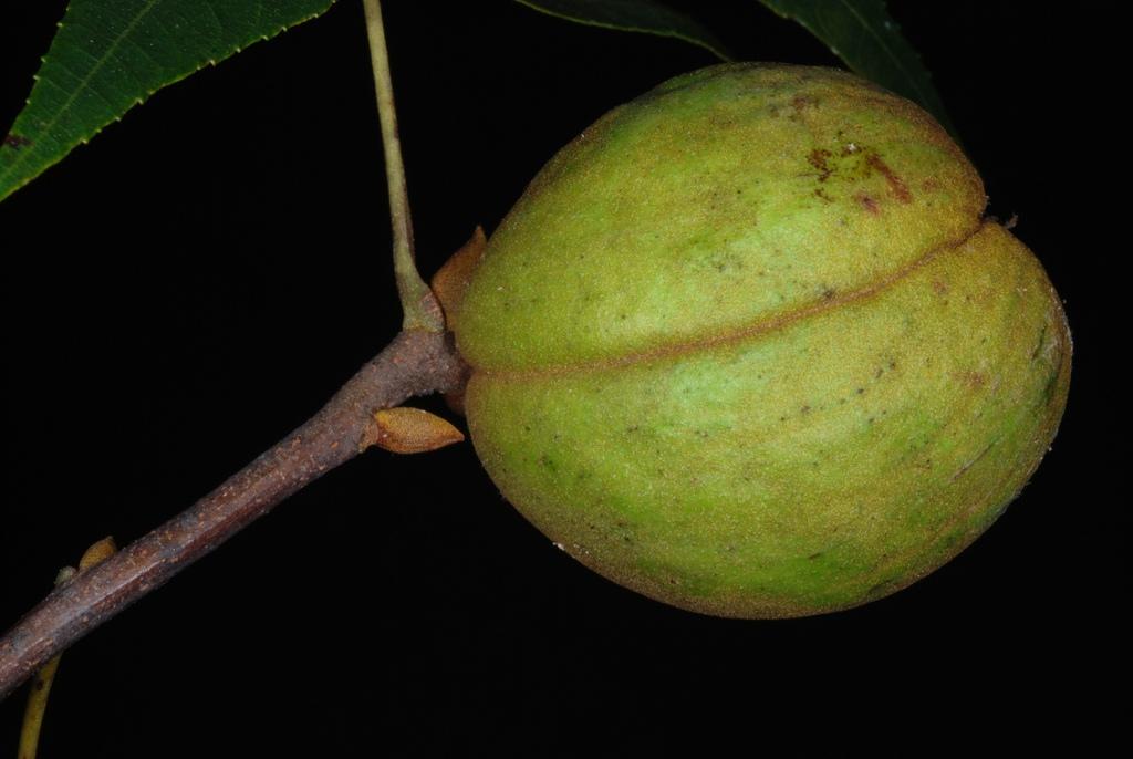 Fruit husk (Seven Lakes, NC)-Early Fall