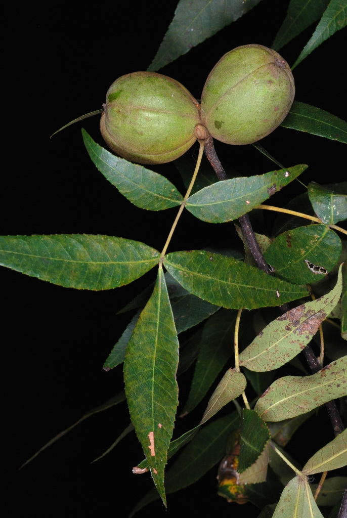 Compound leaves and fruits (Seven Lakes, NC)-Early Fall