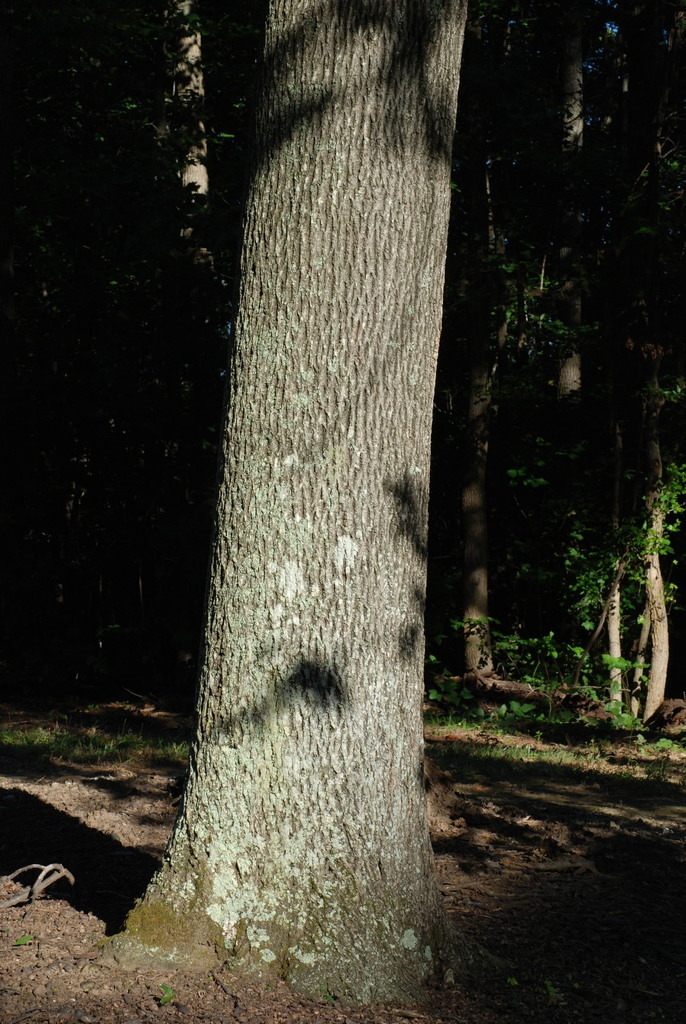 Tree trunk (Guilford County, NC)-Early Fall