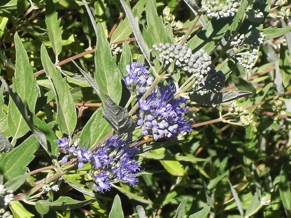 Caryopteris x clandonensis