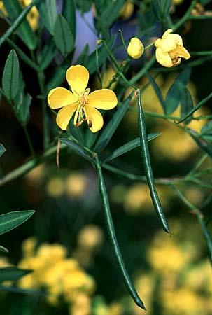 Cassia fasciculata (Chamaecrista fasciculata)