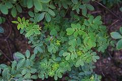 Cassia bicapsularis