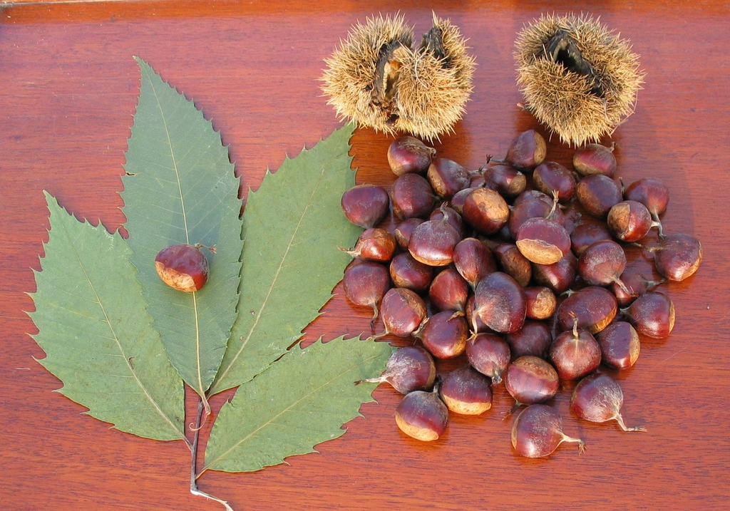 Leaves, burr, and nuts