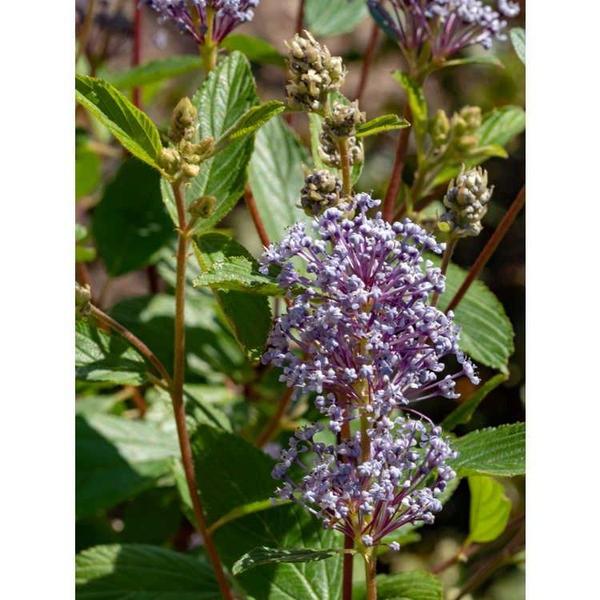 'Minmari' bloom