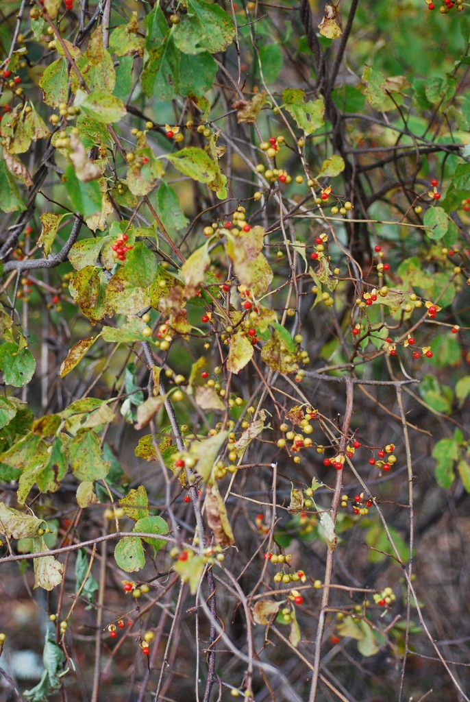 Leaves and fruit (Alleghany County, NC)-Mid Fall