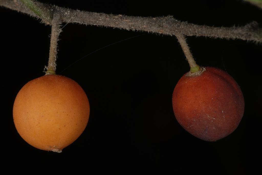 Orangish drupes (Schuyler County, NY)-Early Fall