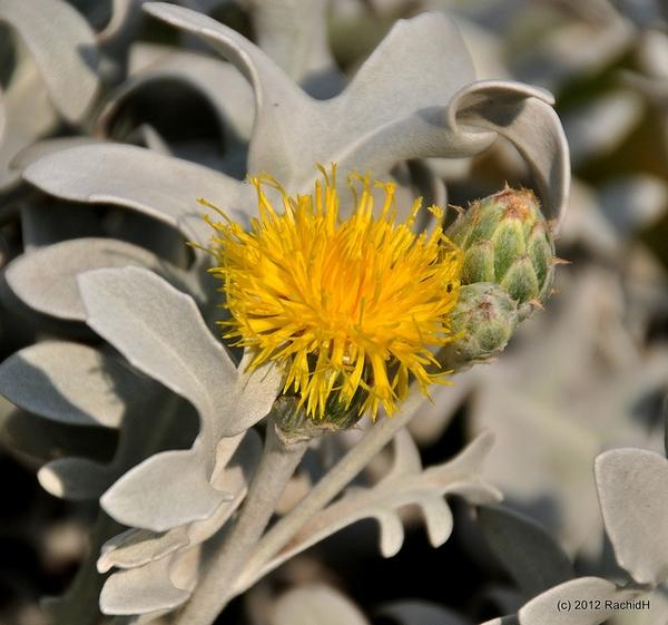 Centaurea cineraria