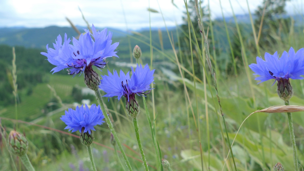 blue/purple flowers and green stems
