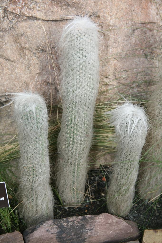 Cephalocereus Senilis
