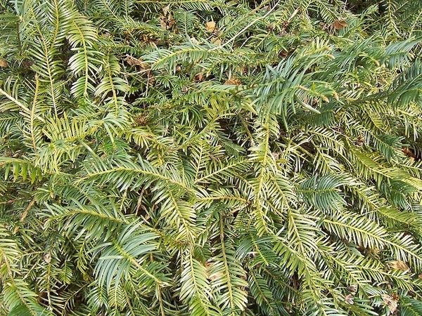 Cephalotaxus harringtonia 'Prostrata'