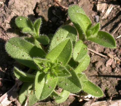 Cerastium fontanum ssp. vulgare