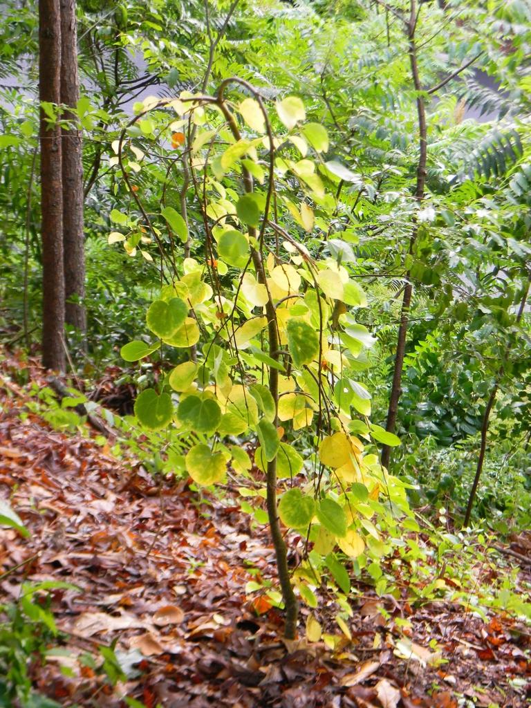 Cercidiphyllum japonicum 'Pendulum'