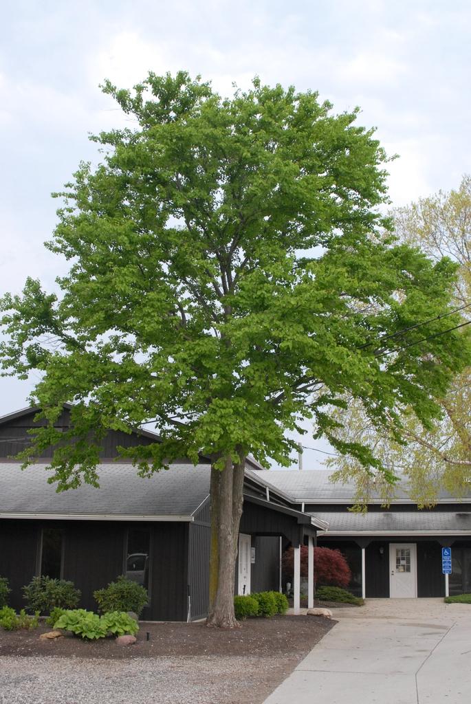 Cercidiphyllum japonicum Tree