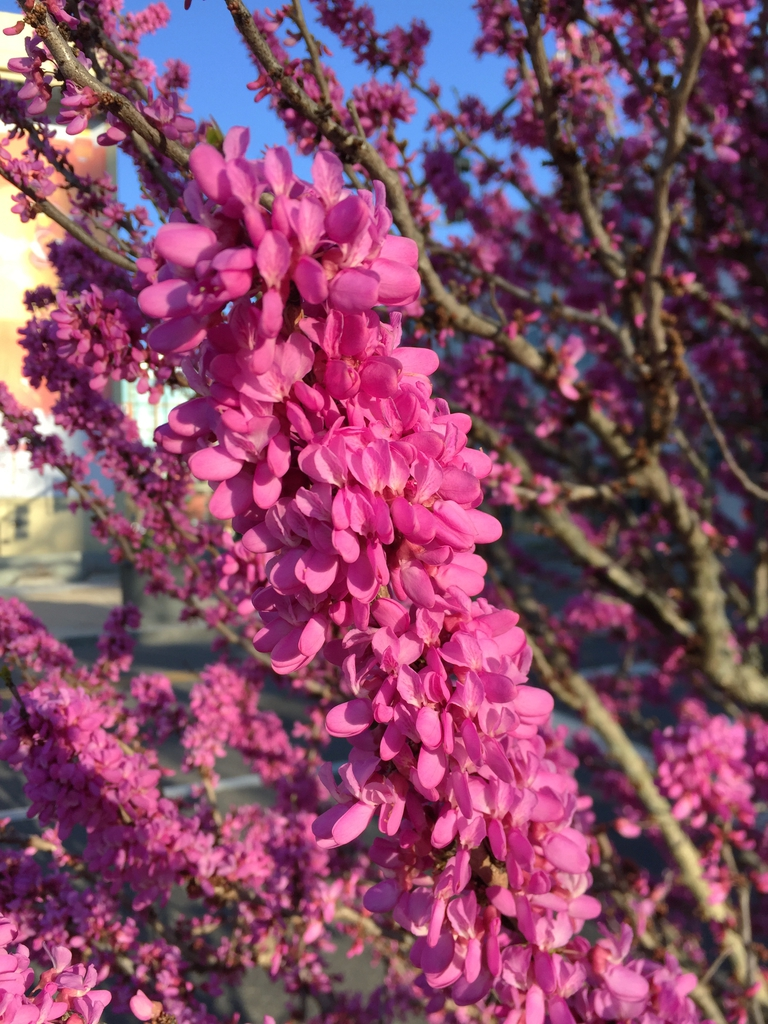 'Avondale' bloom