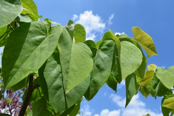 Leaves of Cercis racemosa