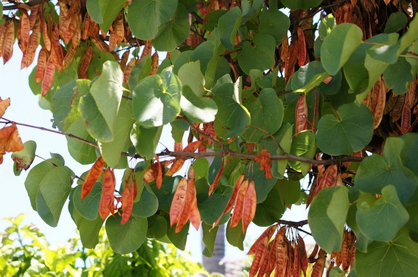 Leaves and fruit of Cercis siliquastrum