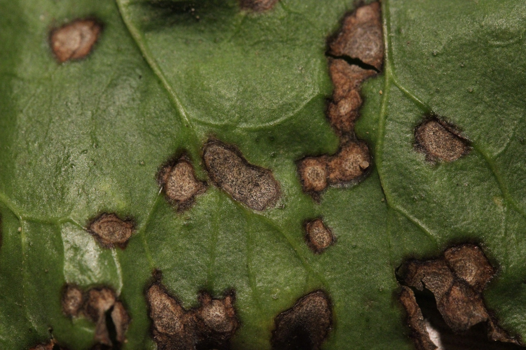Cercospora beticola on Beta vulgaris