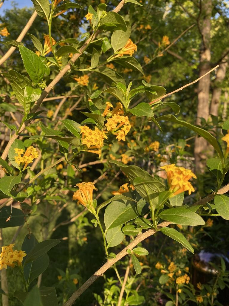 Cestrum parqui flowers, spring, Davidson County, NC