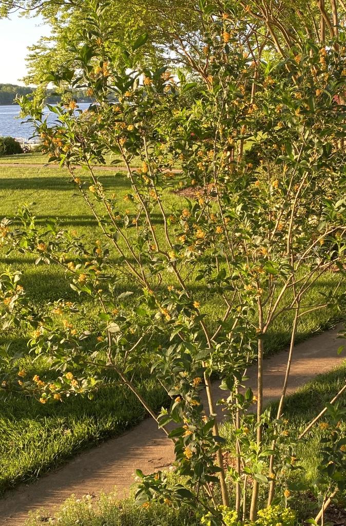 Cestrum parqui form, spring, Davidson County, NC