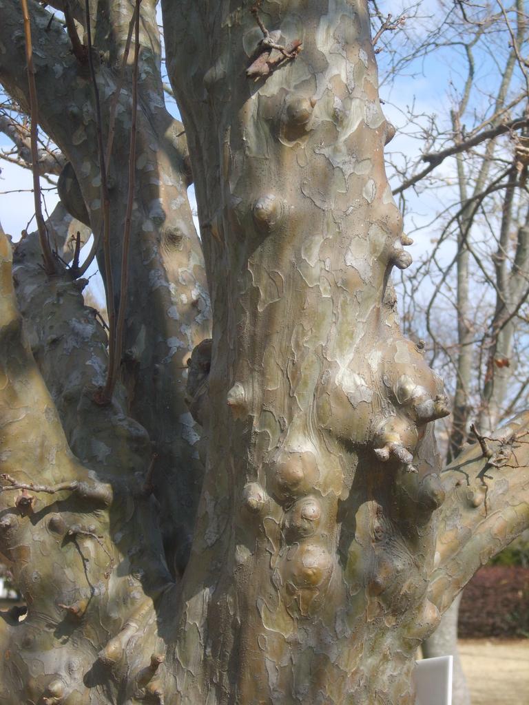 Chaenomeles sinensis bark