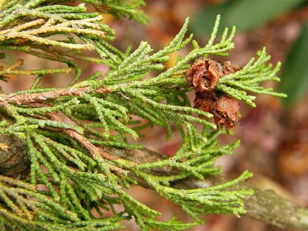 Chamaecyparis thyoides