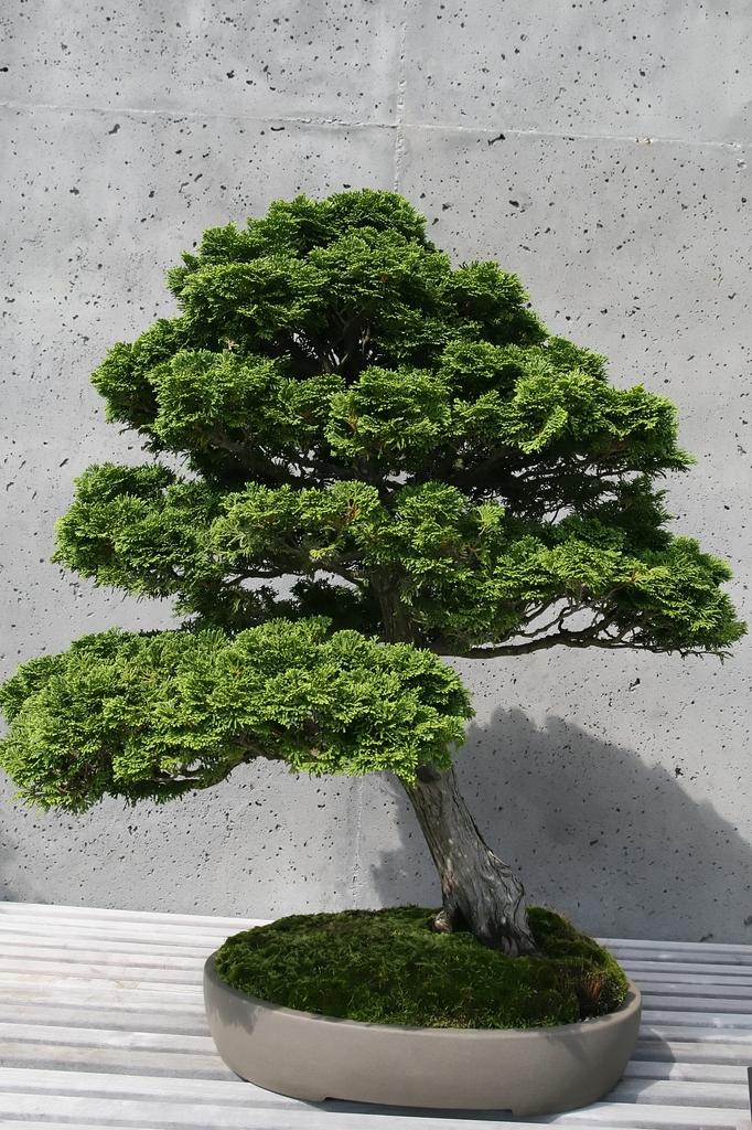 As a bonsai
