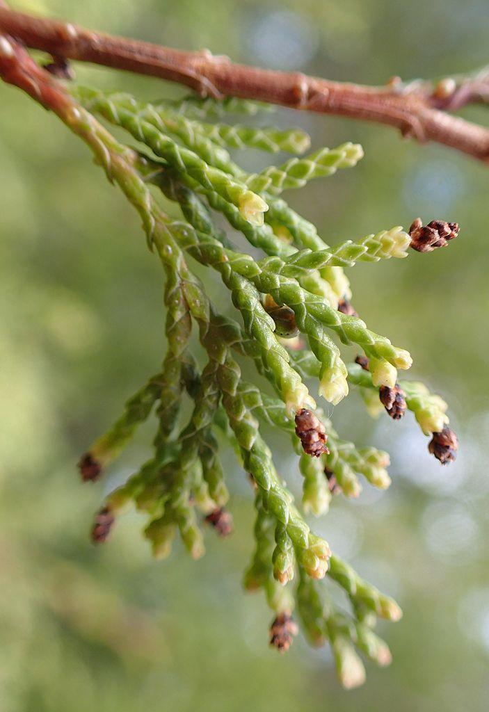 Pollen cones