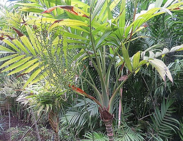 Chamaedorea elegans