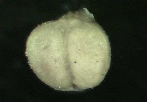 Chamaesyce hirta (L.)