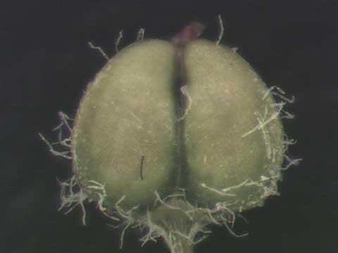 Chamaesyce prostrata fruit