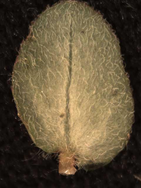 Chamaesyce prostrata abaxial leaf surface