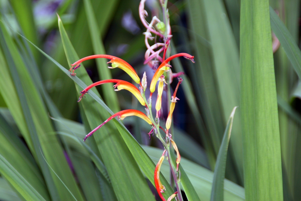 Flower bicolor