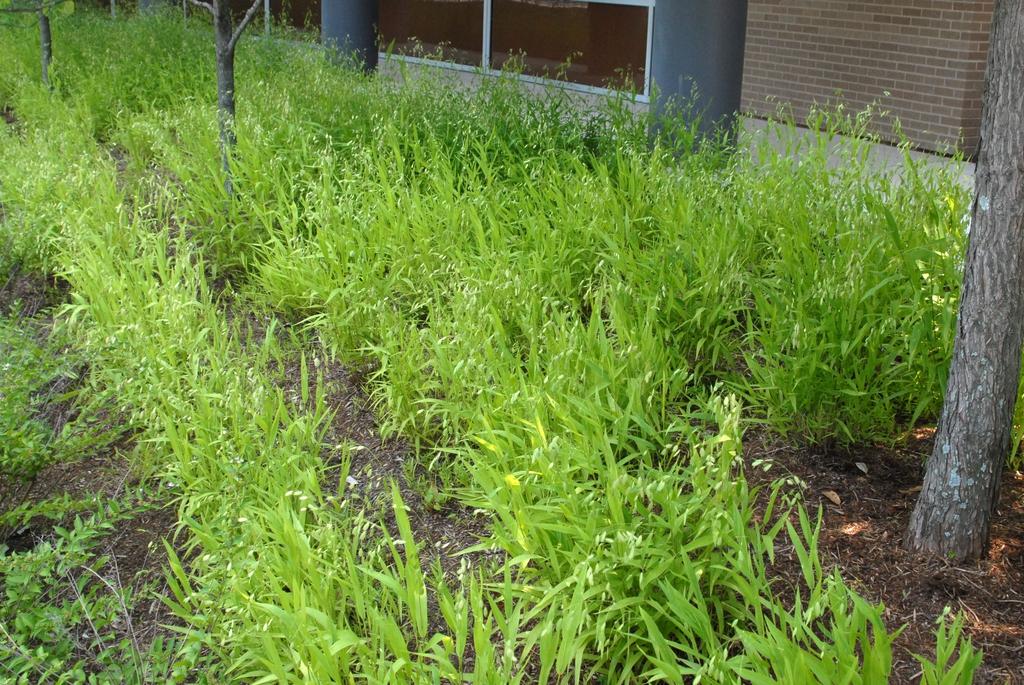 Chasmanthium latifolium Form