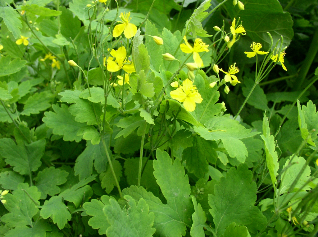 leaves and yellow flowers