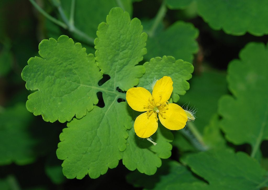 leaves and yellow flower