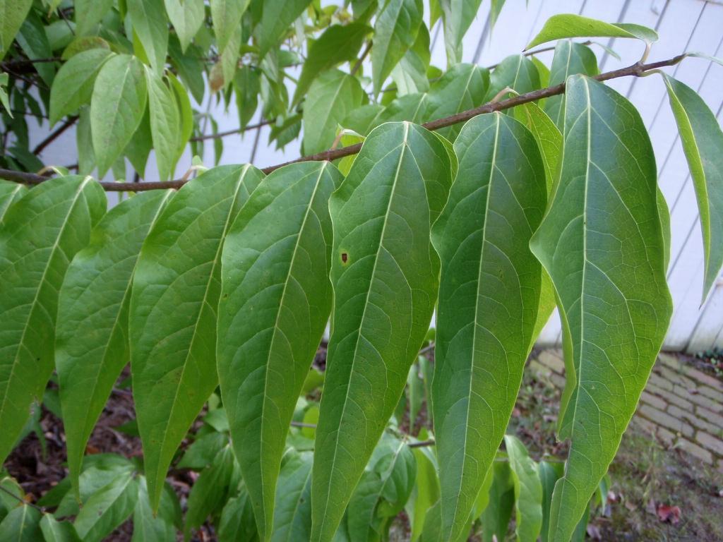 Chimonanthus praecox - leaf blade