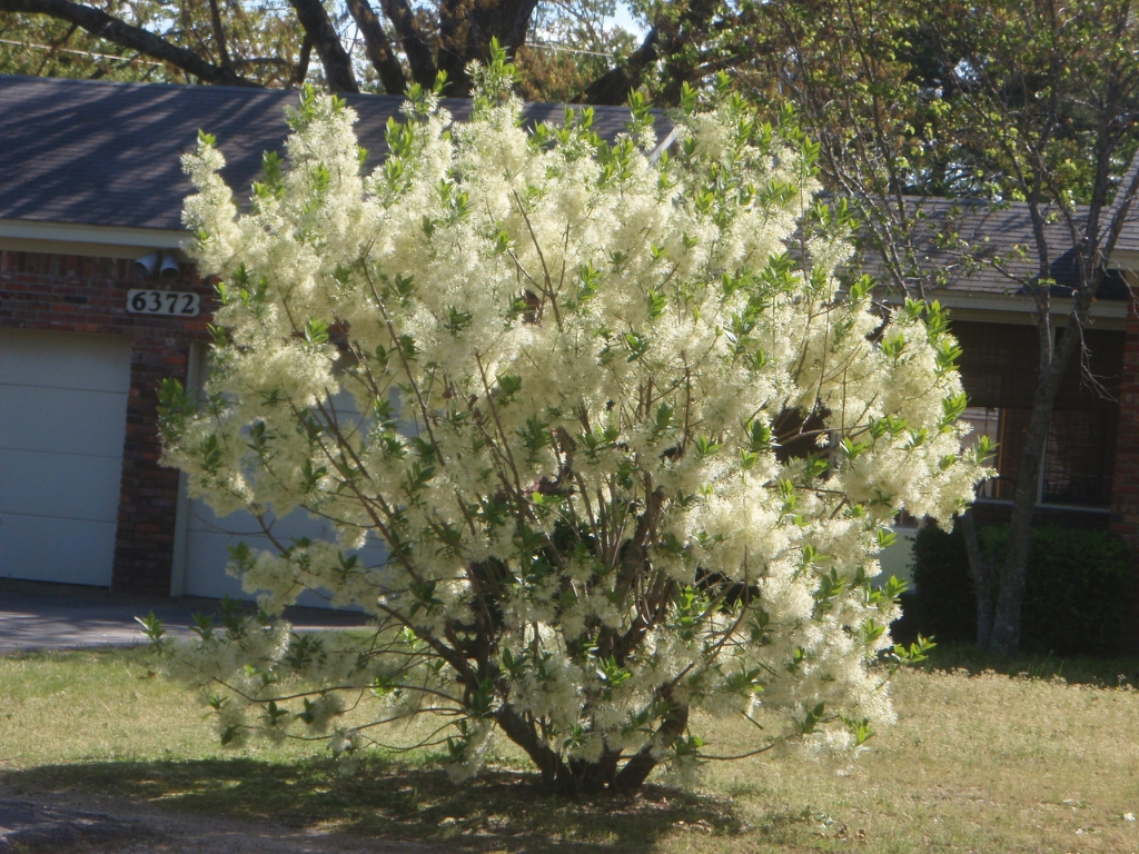 Chionanthus virginicus Fall Form
