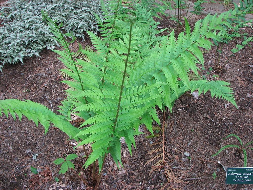 D. x australis