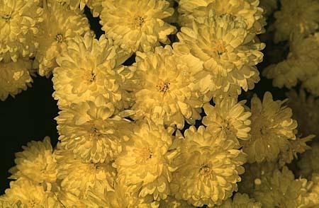 Chrysanthemum X morifolium (Dendranthema X grandiflorum)