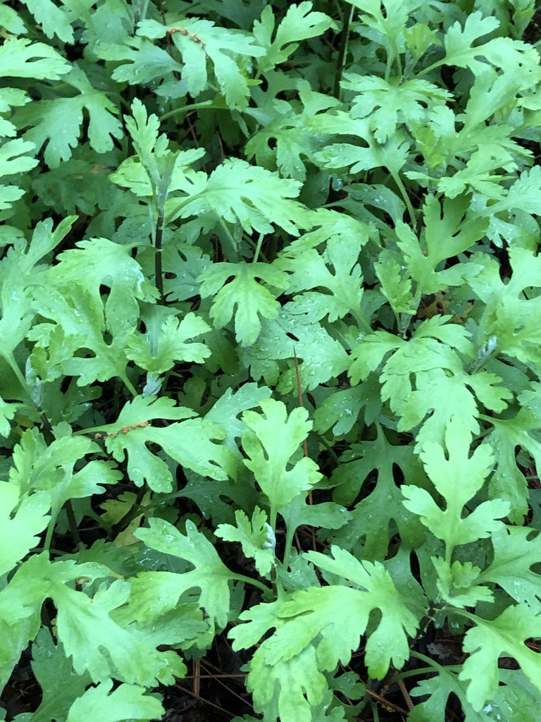 Chrysanthemum x morifolium