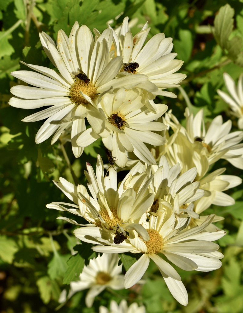 Chrysanthemum (Rubellum Group)