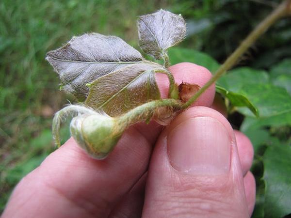 Cissus rhombifolia young leaf