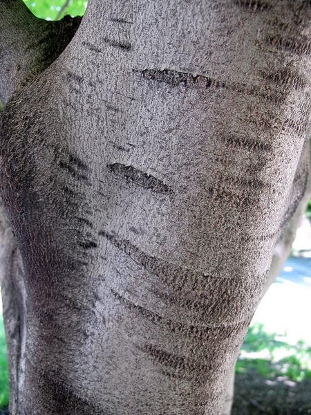 Smooth silver bark