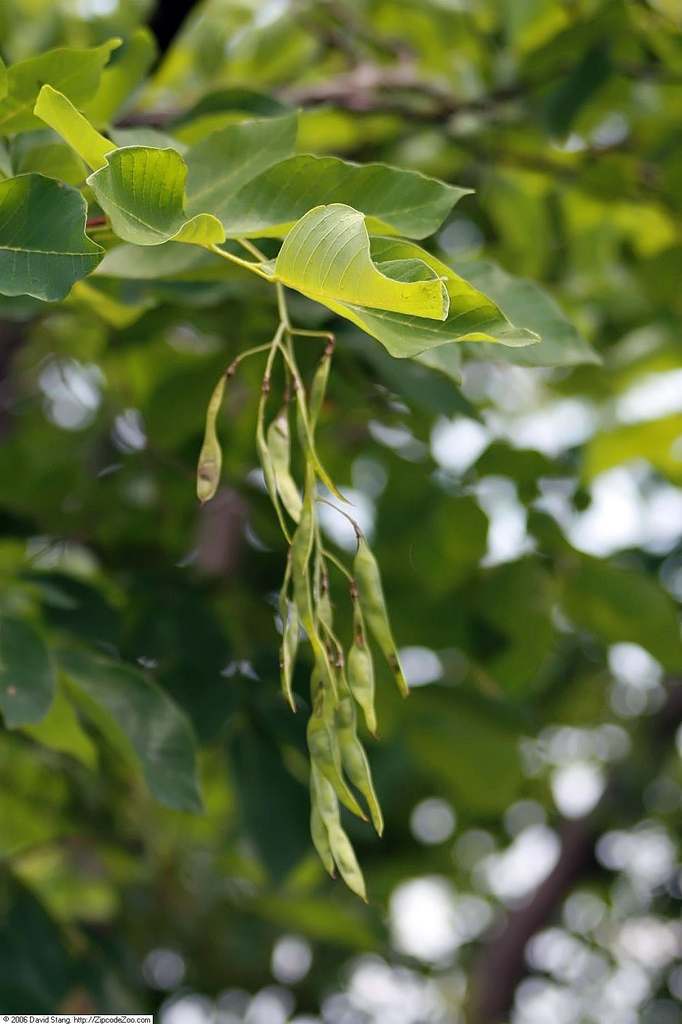 Immature fruits (bean pods)