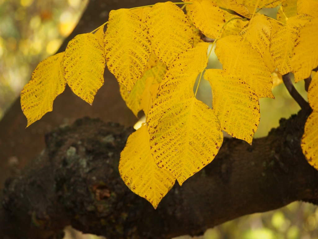 Yellow fall leaf color