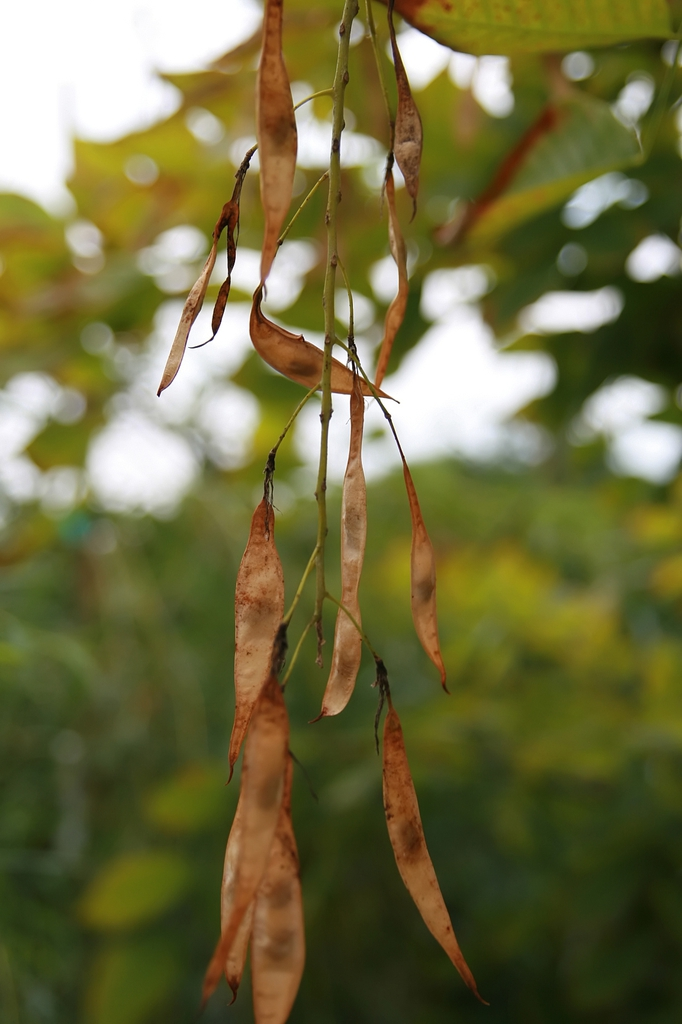Mature fruits (bean pods)