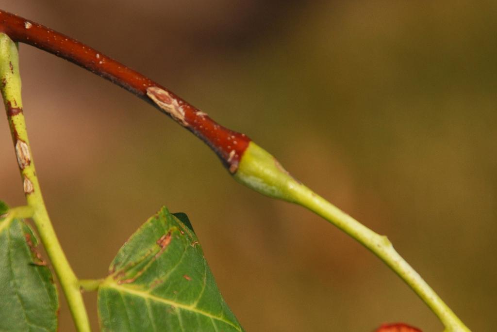 Cladrastis kentukea Bud