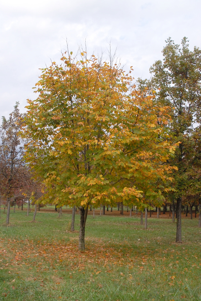 Cladrastis kentukea Fall Color Form
