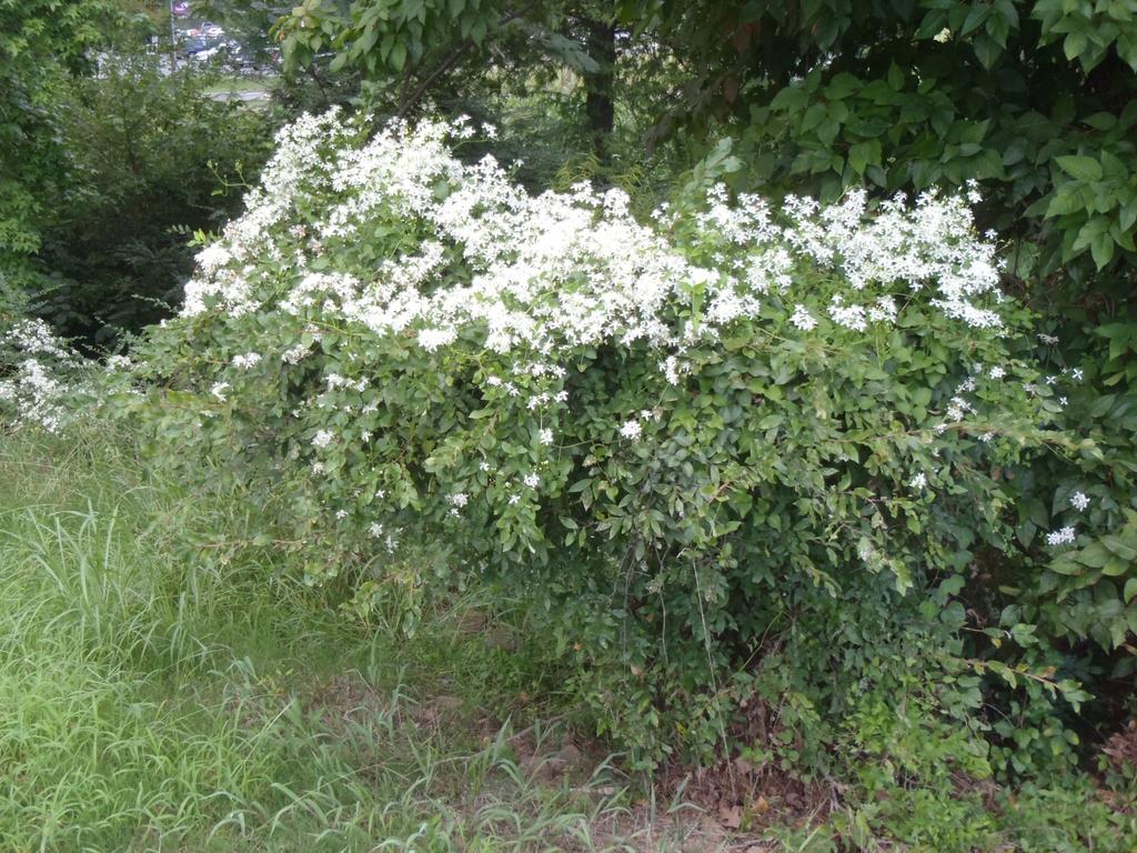 Clematis dioscoreifolia